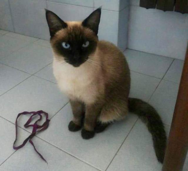 gattina siamese