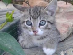 gattini mira