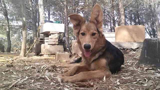 splendida cagnolona