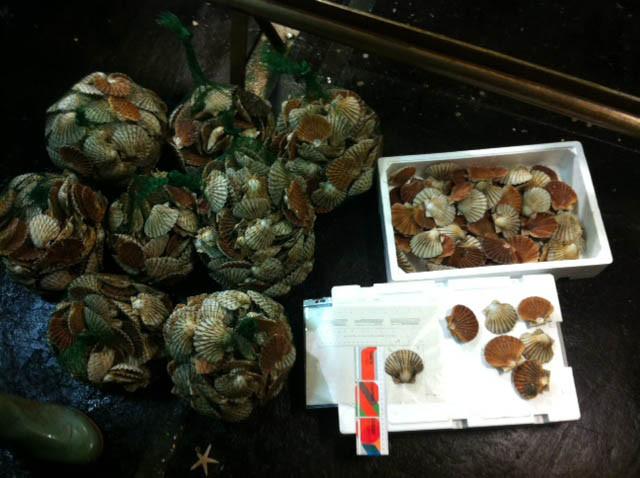 Chioggia, fermato peschereccio con cappesante e ostriche troppo piccole