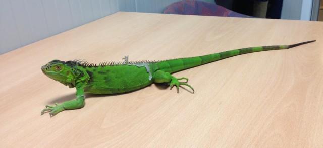 Questa splendida iguana color smeraldo cerca casa