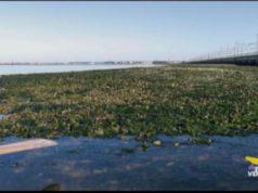 alghe in putrefazione a venezia