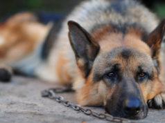cani a catena