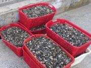 Chioggia: 600 kg di molluschi senza autorizzazioni