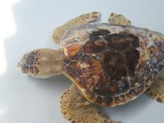 Lido di Venezia una tartaruga marina torna in mare